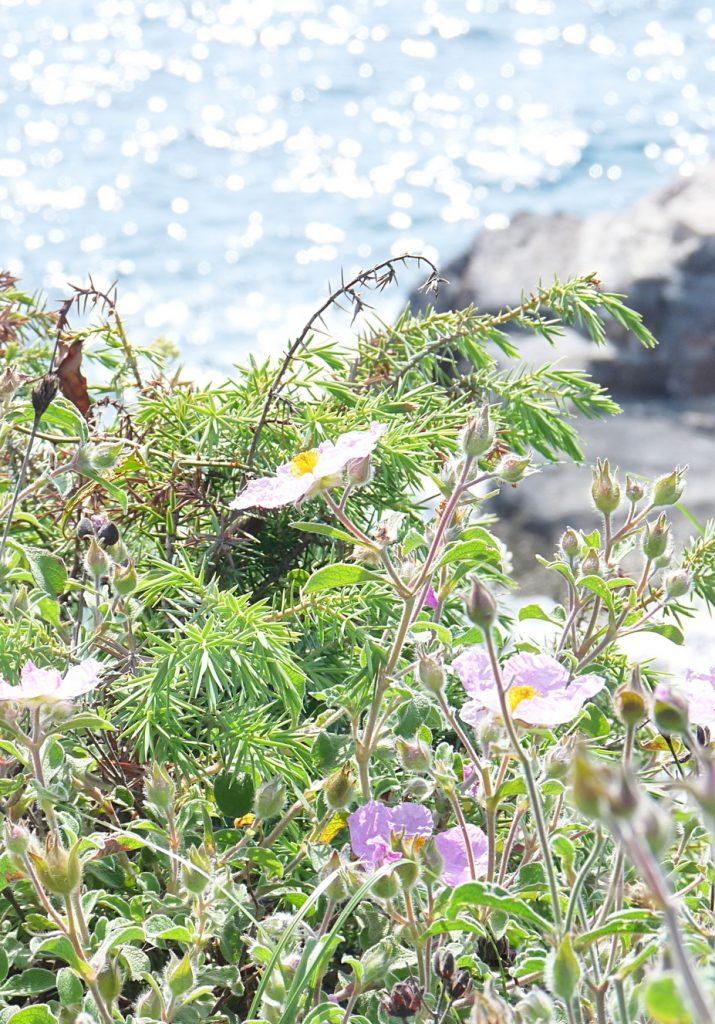 20_Cistrosen wachsen am Kap Kamenjak