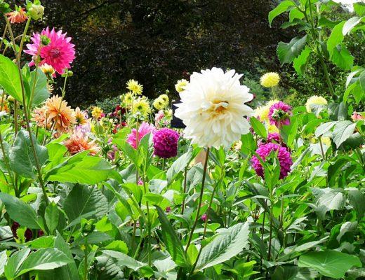 Ein Traumgarten mit bunten Dahlien in allen Farben
