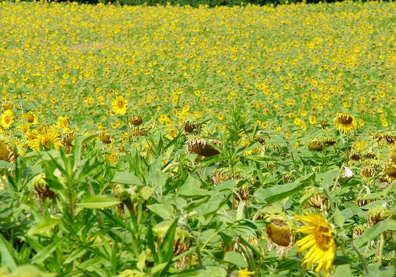 4_ein rießiges Sonnenblumenfeld