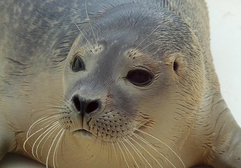 14_Ein junger Seehund in der Auffangstation auf Zeeland