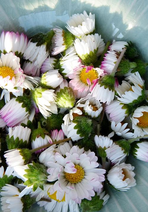 Gänseblümchen Salbe selber machen