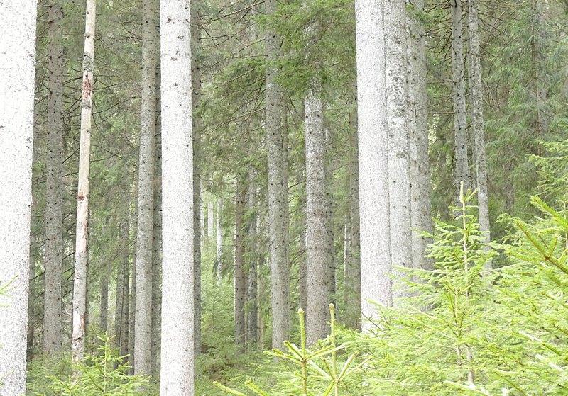 Bannwald Bärlochkar