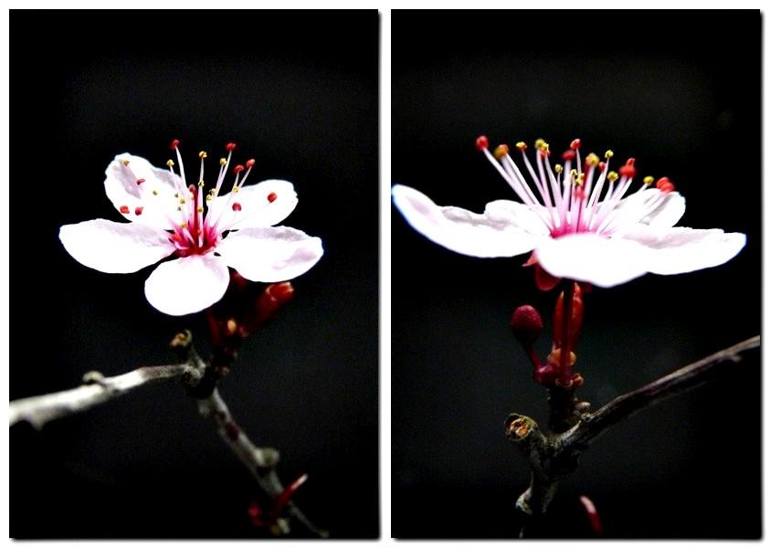 5_1_Blüte der Zierpflaume