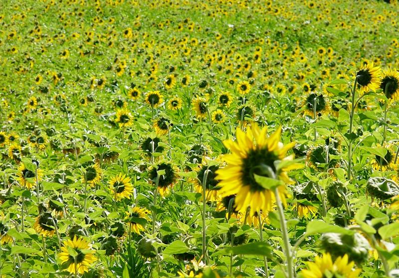 5_Sonnenblumen soweit das Auge reicht
