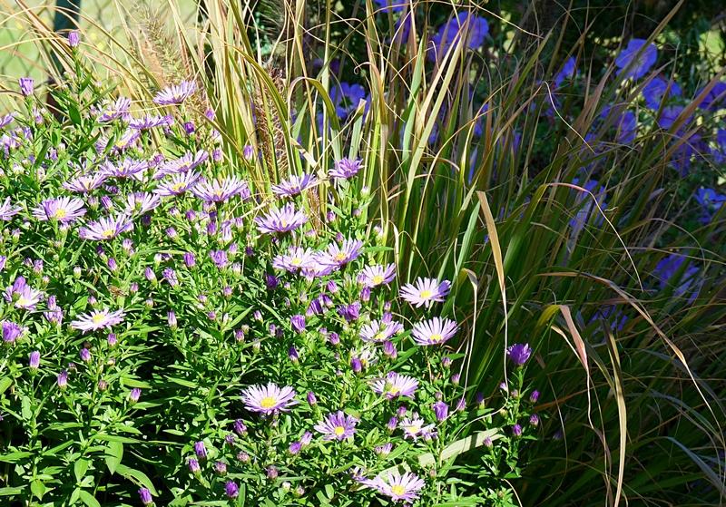 Blumenbeet mit Herbstastern