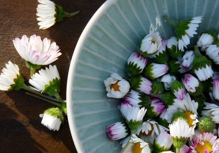 Salbe und Creme aus Gänseblümchen machen