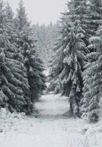 Tannenbäume im Schwarzwald