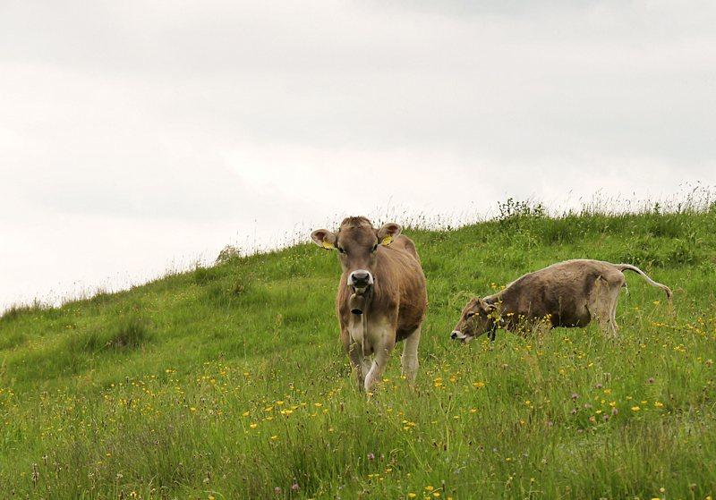 6_Kühe Pfronten